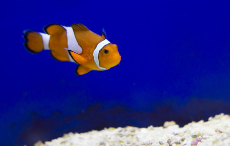 clownfish: Tropical reef fish - Clownfish (Amphiprion ocellaris)  - animal photography