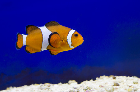 amphiprion: Tropical reef fish - Clownfish (Amphiprion ocellaris)  - animal photography
