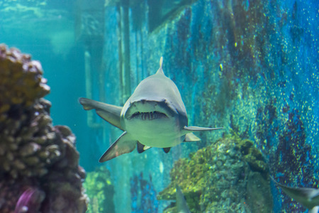 bull shark: Shark under the water - animal photography