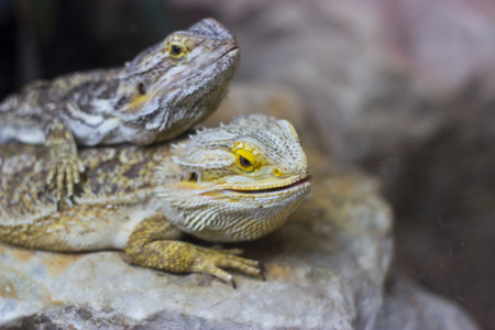 animal watching: Two lizards are watching something - animal photography Stock Photo