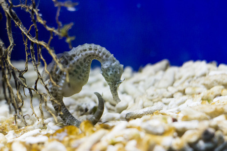 fishtank: Little seahorse in a fishtank - animal photography