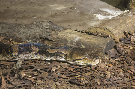 blood draw: Big snake on the ground - animal photography Stock Photo