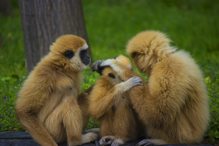 White handed gibbon family in a zoo - animal pfotography