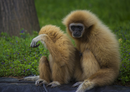 handed gibbon: White handed gibbon family in a zoo - animal pfotography