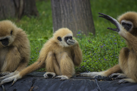 biped: White handed gibbon family in a zoo - animal pfotography