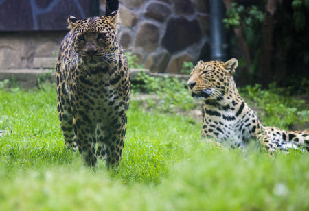 leopard cat: Nice leopard cat - zoo photography
