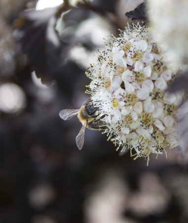 Honey Bee Pollinating NineBark Plant Flowers in Springtime