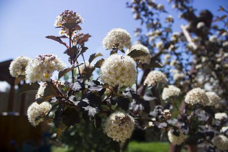 diablo: Diablo Ninebark Shrub Flowers blooming in Springtime