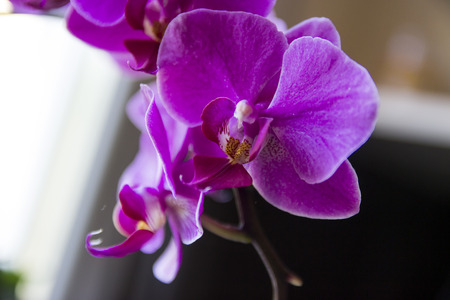 Close-up of pink orchid phalaenopsis - flower photography