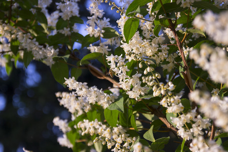 Shrub with beautiful white and white full flowers - Deutzia scabra flowering in spring 스톡 콘텐츠