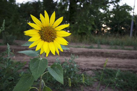 standing alone: One Standing Alone Sunflower - nature photography Stock Photo