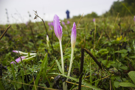 lila: Nice dewy flower in the autumn (Colchicum autumnale)