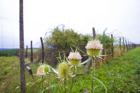 ornamental horticulture: Dipsacus fullonum, Fullers Teasel - flower photography