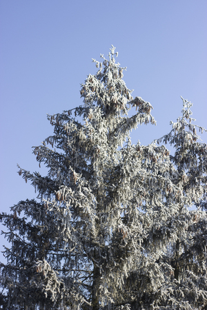 wintersport: Frosted trees against a blue sky Stock Photo