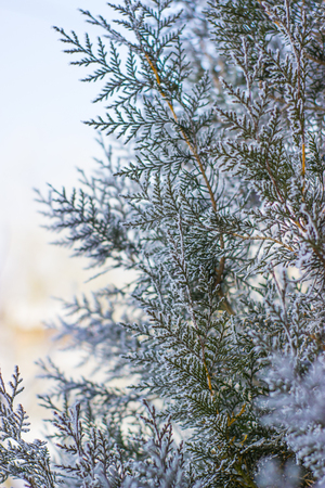 frost winter: frozen plants in early morning close up in winter Stock Photo