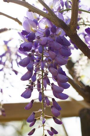 Wisteria floribunda - flower photography in the garden
