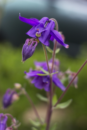 common snapdragon: Blue flower of European columbine - Aquilegia vulgaris Stock Photo