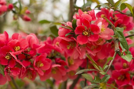 Nice chaenomeles flowers - flower photography