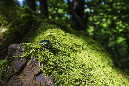 aurata: Rose chafer (Cetonia aurata) - insect photography Stock Photo