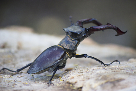 Stag beetle( Lucanus cervus) - insect photography Stock Photo