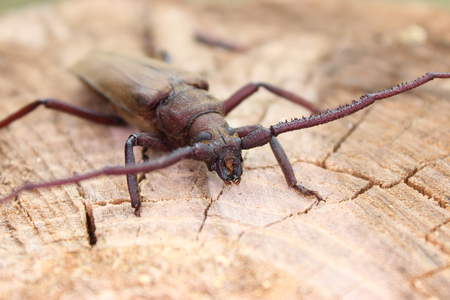 Megopis scabricornis - a longhorn beetle, insect photography Stock Photo