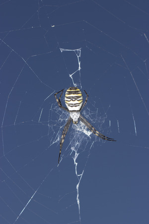 araneidae: Spider Argiope Bruennichi on the web - insect photography
