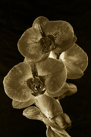 Black and white orchid - flower photography in the studio