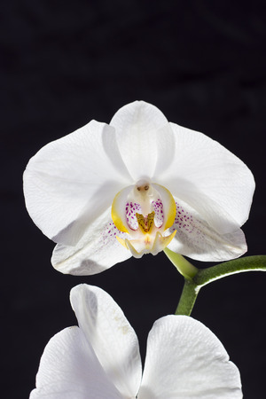 White orchidea - flower photography in the studio