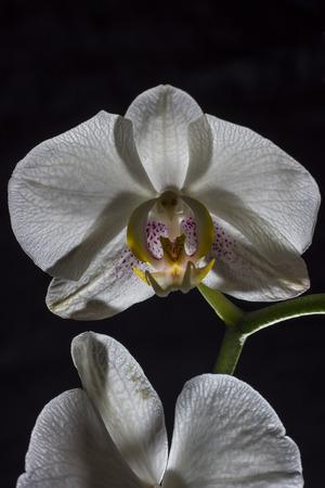 orchidea: White orchidea - flower photography in the studio