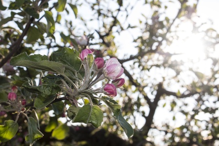 Blossoming apple tree - nature photography