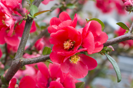 Japanese Quince (Chaenomeles japonica) - flower photography