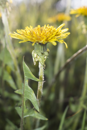 Spring flower, yellow dandelion - nature and flower photography