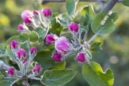 Flower of an apple tree