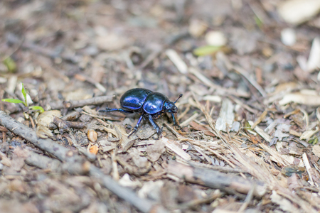 Trypocopris vernalis - insect photography in the forest