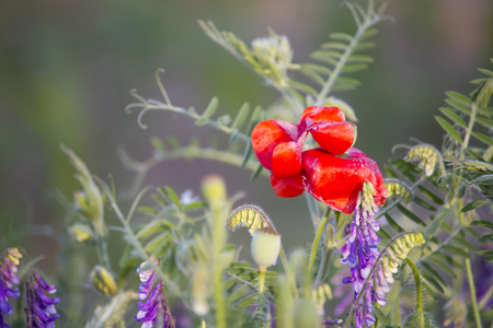 Wild flowers of meadow - vetches and poppy