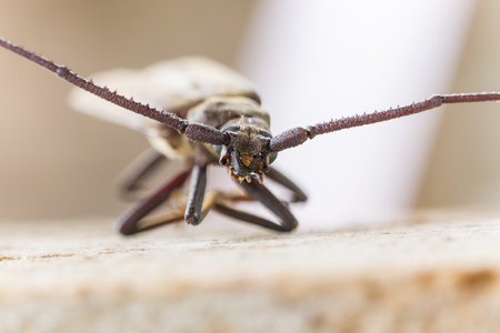 long horn beetle: Megopsis scabricornis or aegosoma scabricornis - insect photography