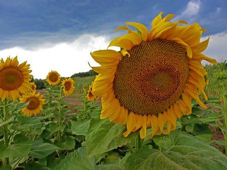 Sunflower in the field - outdoor photography Stock fotó