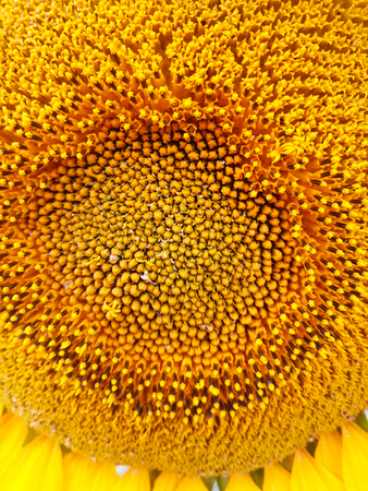 Sunflower close up picture - macro phoography Stock fotó