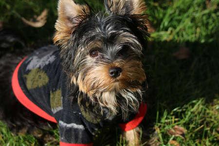 Yorkshire terrier Banco de Imagens - 155372404