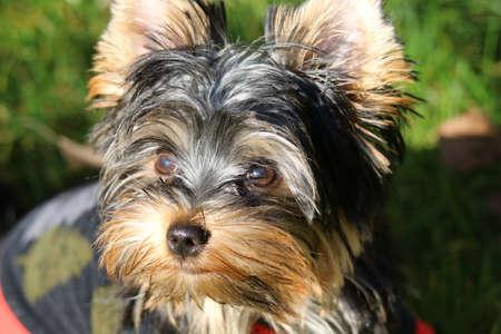 Yorkshire terrier Banco de Imagens - 155372256