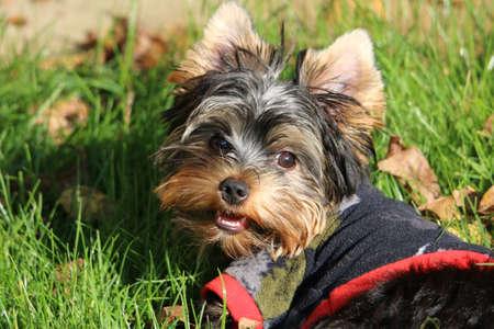 Yorkshire terrier Banco de Imagens - 155372382