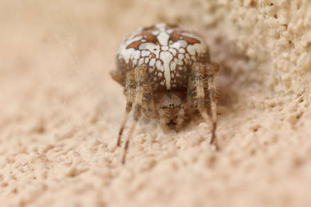 Cross spider at the wall - insect photography Banco de Imagens