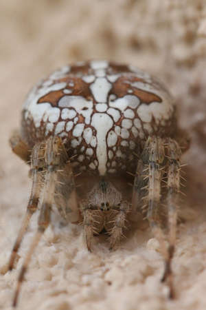 Cross spider at the wall - insect photography Banco de Imagens - 155445828