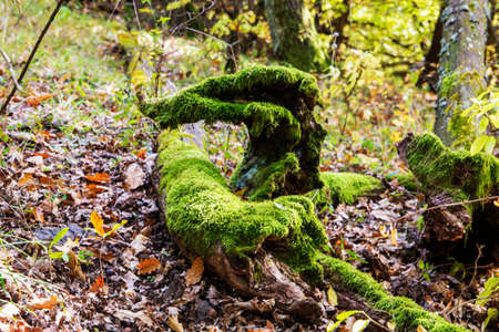 Green moss on an old ded branch - outdoor photography