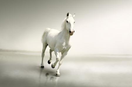 carreras de caballos: Hermoso caballo blanco en movimiento
