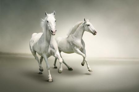black horse: Caballos blancos