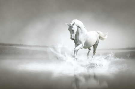 arabian horse: White horse running through water  Stock Photo