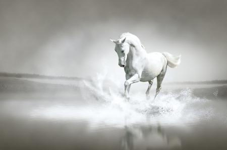 sea horse: White horse running through water  Stock Photo