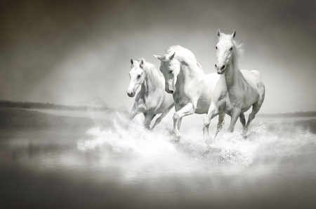 white: Herd of white horses running through water  Stock Photo