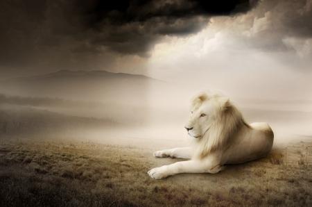White lion at sunset Stock Photo
